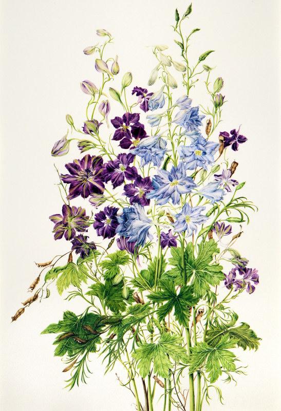 Delphinium hybridium