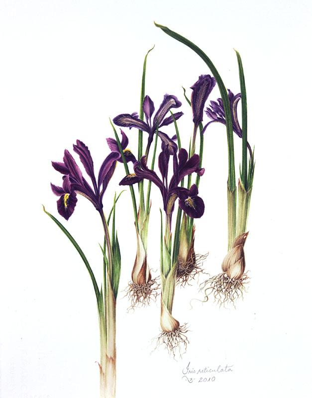 botanix iris reticulata. Black Bedroom Furniture Sets. Home Design Ideas