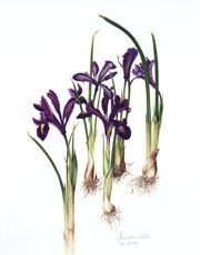 ris reticulata