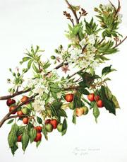 Prunus cerasus