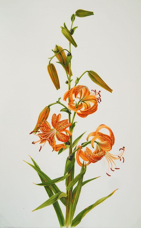 Lilium Lancifolium Botanix