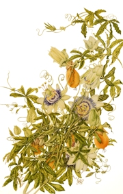 Passiflora2013-180