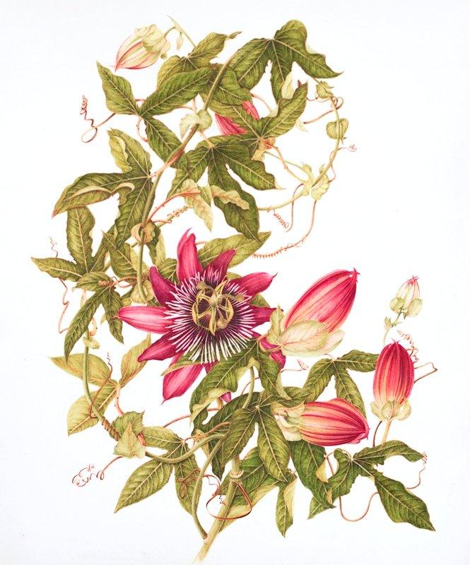 Passiflora2014