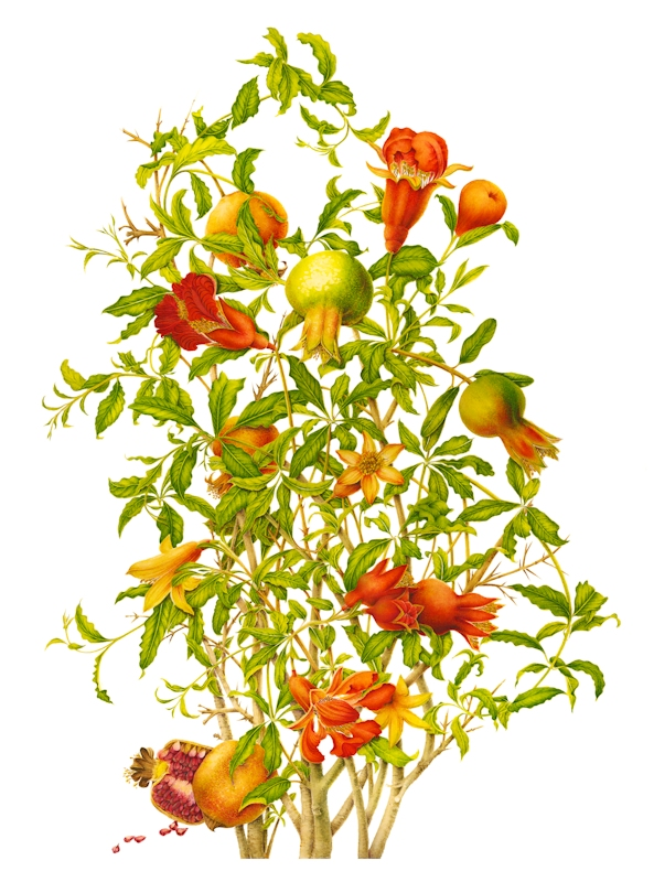 Pomegranate-lg