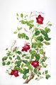 Campsis radicans (Trumpet vine)