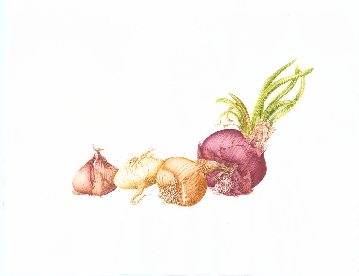 Allium cepa (onions).
