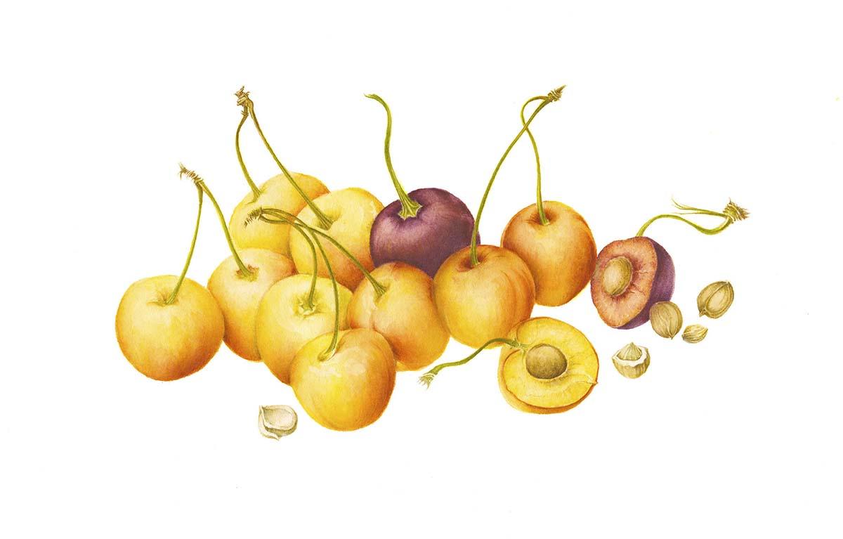 Prunus avium (Rainier cherry)