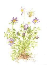 Pulsatilla vulgaris (pasque flower)