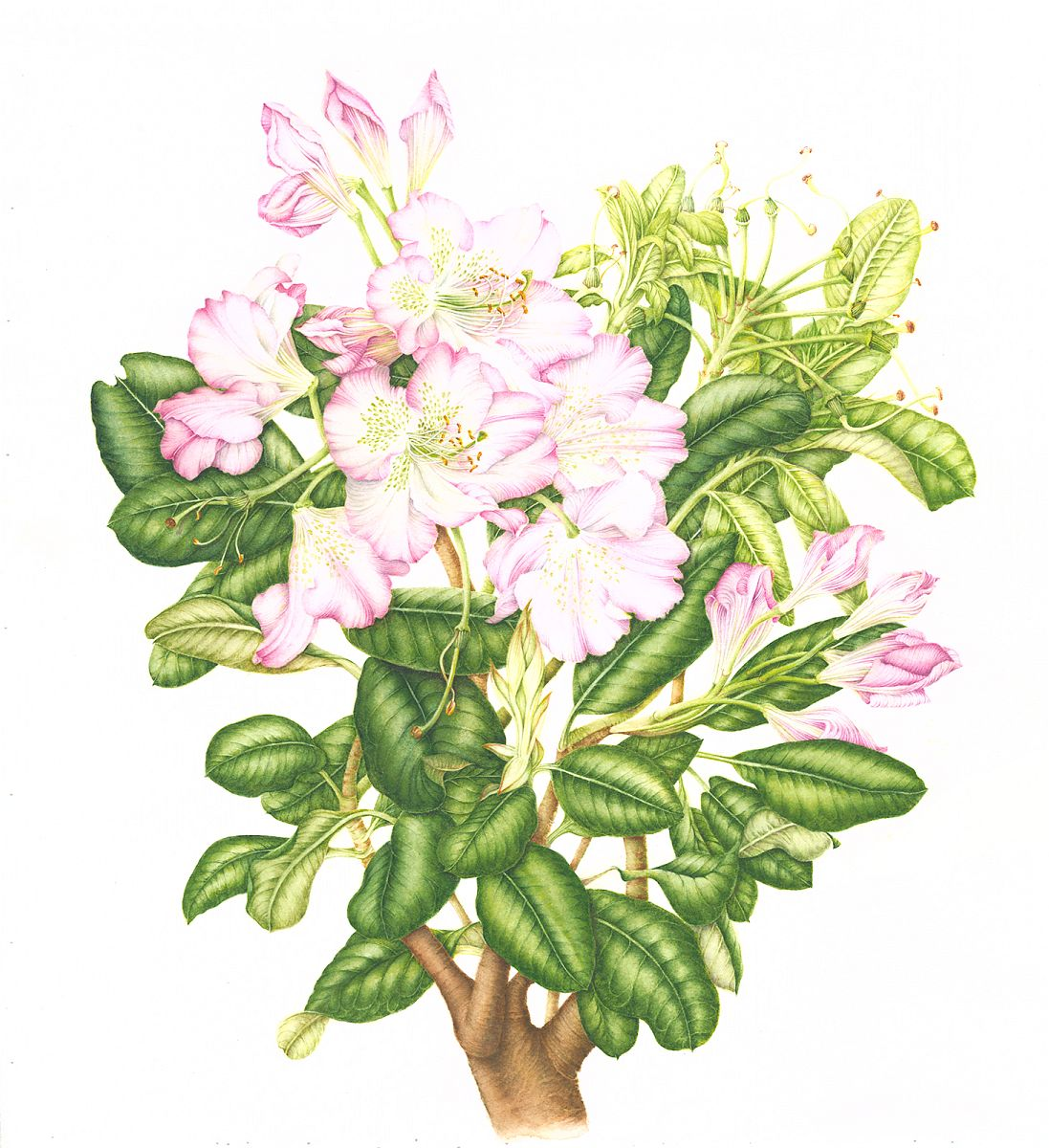"Rhododendron ""scintillation"""