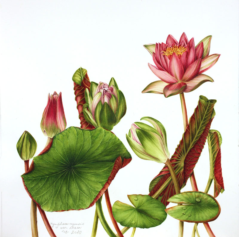 Nymphaea capensus